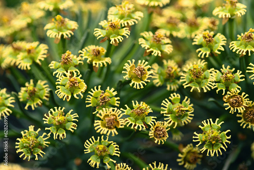 Euphorbia flowers, Euphorbia sp., Goegap Nature Reserve, South Africa