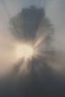 Foggy tree at sunrise, San Juan Island, Washington