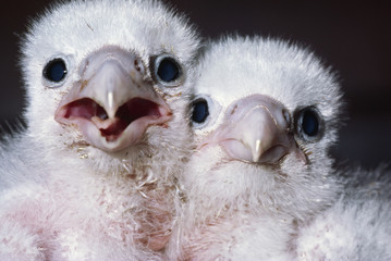 Peregrine falcon chicks, Falco peregrinus, in California, USA. Large round eyes and open beaks.