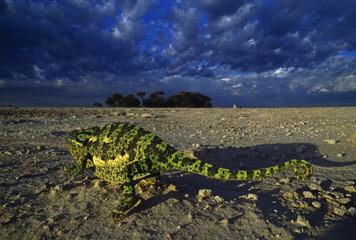 Flap-necked chameleon, Chamaeleo dilepis, Makgadikgadi Pans, Kalahari Desert, Botswana