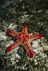 Seastar, Protorcaster lincki, in seagrass, Western Madagascar