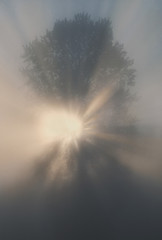 Foggy tree at sunrise, San Juan Island, Washington