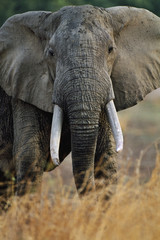 Elephant bull, Loxodonta africana, Luangwa Valley, Zambia