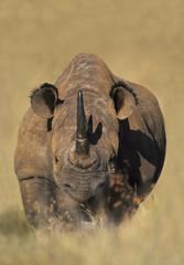 White rhinoceros, Ceratotherium simum, Kenya