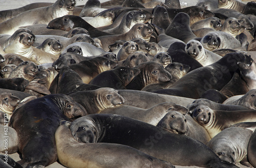 Young northern elephant seals, Mirounga angustirostris, Ano Nuevo State Reserve, California