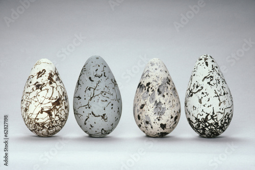 Common murre eggs, Uria aalge, Western Foundation of Vertebrate Zoology