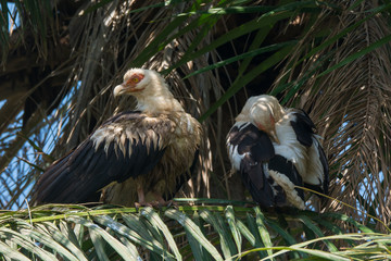 Two Palm-Nut Vultures in a Palm Tree