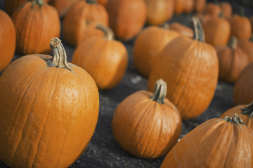 A large collection of pumpkins set out to harden off.