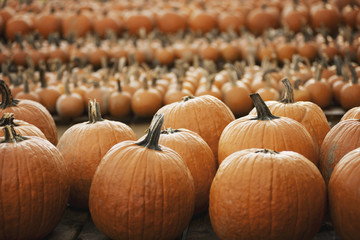 Pumpkins arranged in rows to be hardened off and dried. Organic farm.