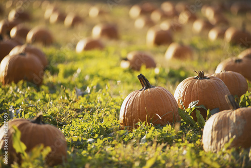 A field of pumpkins growing.
