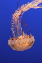 Sea nettle jellyfish in a water tank, underwater, with long tentacles.