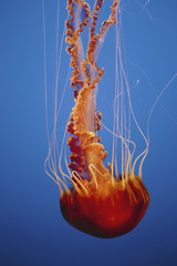 Black sea nettle jellyfish underwater, in the Monterey Bay Aquarium.