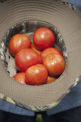 A clutch of fresh ripe red tomatoes, collected in an upturned hat.