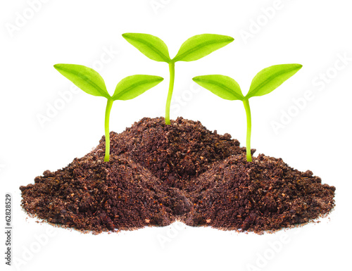 Young seedlings growing in a soil.