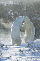 Polar bears in the wild. A powerful predator and a vulnerable  or potentially endangered species.