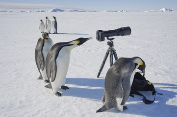 A small group of curious Emperor penguins looking at camera and tripod on the ice on Snow Hill island. A bird peering through the view finder.