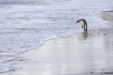 A king penguin, Aptenodytes patagonicus, on an ice floe on the seas surrounding South Georgia Island in the Falklands.