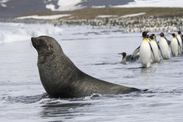 An Antarctic fur seal, Arctocephalus gazella, on the seashore, and a group of King penguins, Aptenodytes patagonicus walking in single file.