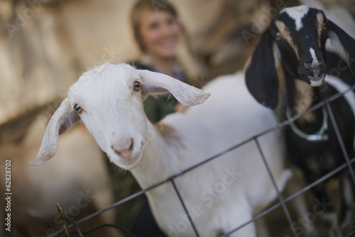 A woman in a stable on an organic farm.  White and black goats.