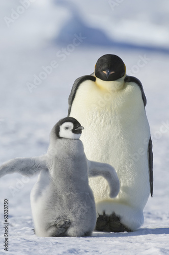 An adult Emperor penguin and a smaller fluffy penguin chick spreading its flippers out.