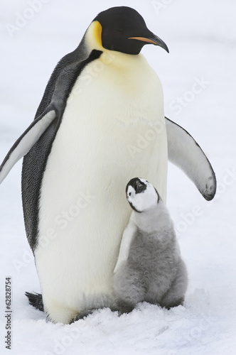 An adult Emperor penguin with a small chick nuzzling up, and looking upwards.