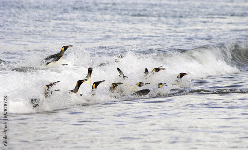 A group of King penguins, leaping and surfing on the waves on the shore of South Georgia Island.