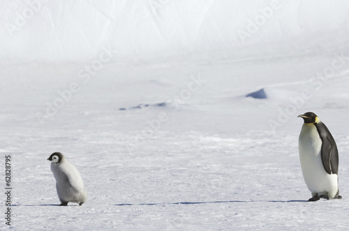 An adult Emperor penguin watching over a baby chick on the ice on Snow Hill island.