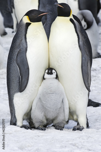 Two adult Emperor penguins and a baby chick nestling between them.