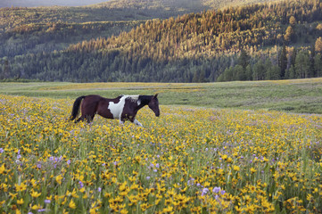 Horse in a field of wildflowers. Uinta Mountains, Utah.