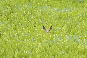A mule deer hiding in a field of wild flowers and plants, false hellebore. Ears visible.
