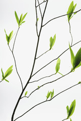A branch with a pattern of slender twigs leading off the central branch, with green shoots and leaves emerging. Growth.