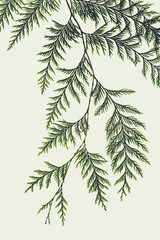 Western red cedar tree branch with green linear shaped leaves against a white background.
