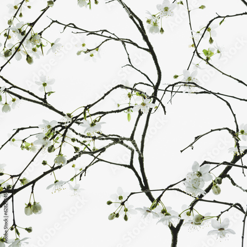 An apple tree blossoming and growing in the spring time.  Green leaves and white blossom, against a white background. A tree branch.