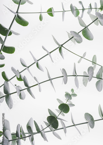 Close up of the small green leaves of the Eucalyptus gunnii tree, also know as Cider Gum. Leaves arranged in pairs on the twig