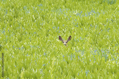 A mule deer hiding in a field of wild flowers and plants, false hellebore. Ears visible.