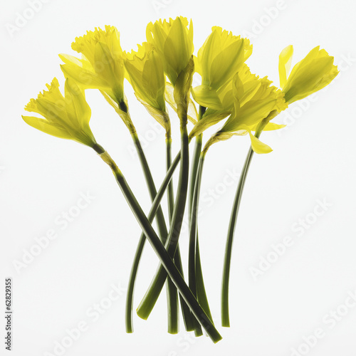Yellow Daffodil flowers on a white background.