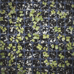 Spring Planting. A tray of small seedlings growing under glass.