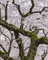 Frothy pink cherry blossom on cherry trees in spring in Washington state, USA