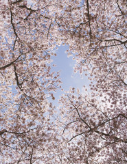 Frothy pink cherry blossom on cherry trees in spring in Washington state viewed from the ground against a blue sky.