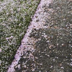 Pink fallen cherry blossom petals blown across the pedestrian sidewalk in Seattle in spring.