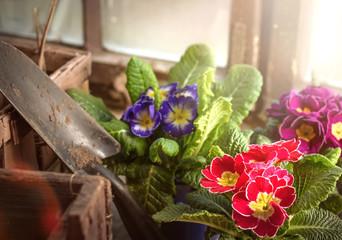Primeln im Gartenhaus zum Einpflanzen