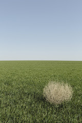 Sagebrush, tumbleweed blowing across a field of growing wheat crop in the farmland around Pullman, Washington, USA