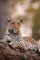 Leopard, Chobe National Park, Botswana