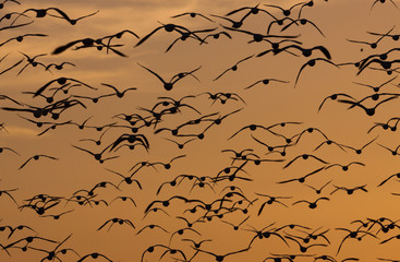 Snow geese, Bosque Del Apache National Wildlife Refuge, New Mexico, USA