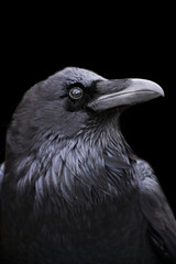 Profile of a Raven with a black background, California.