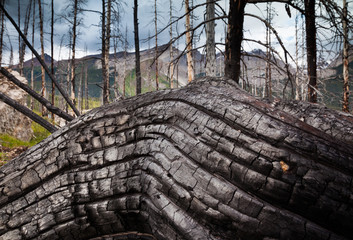 Jasper National Park, Alberta, Canada. An old gnarled tree trunk.