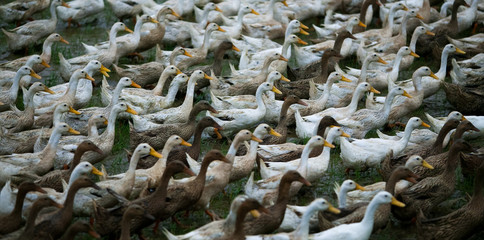 Flock of geese, China
