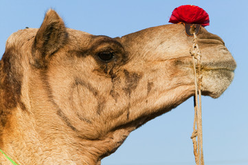 Profile of a camel at the Pushkar Fair, Rajasthan, India