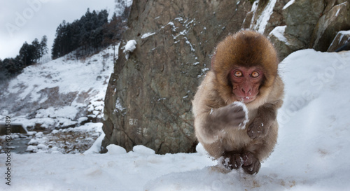 Japanese macaque, Honshu Island, Japan