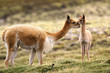 Guanaco, cria, Lauca National Park, Chile